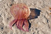 Méduse pélagie échouée sur une plage de Villefranche-sur-Mer