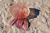Mauve stinger jellyfish on a beach at  Villefranche-sur-Mer