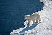 Polar bear on ice-floe at Larsen Sound Canada