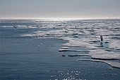 Polar bear on ice-floe at Larsen Sound Canada