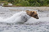 Grizzly fishing salmon in a river in Katmai NP Alaska