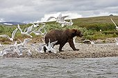 Grizzly and birds on the banks of a river Katmai NP