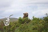 Grizzly in the Katmai NPAlaska