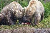 Grizzlys eating a Sockeye Salmon in the Katmai NP Alaska