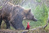 Grizzly snorting and holding a Salmon Salmon with its paw
