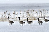 Canada geese on a frozen lake Lac Saint-Pierre Quebec