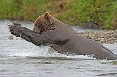 Grizzly fishing for salmon in a river Katmai NP Alaska