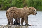 Grizzly female and its young of the year in Katmai NP