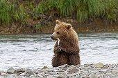 Grizzly eating a Sockeye in Katmai NP Alaska