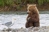 Grizzly eating a Sockeye in Katmai NP Alaska ; A glaucous-winged gull waiting for leftovers