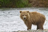 Grizzly on the banks of a river in Katmai NP Alaska