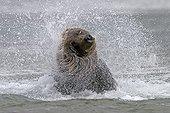Grizzly snorting a river Katmai NP Alaska