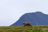 Grizzly walking in Katmai NP Alaska