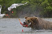 Grizzly catching a Sockeye salmon in Katmai NP Alaska ; The glaucous-winged gulls are taking advantage of the capture