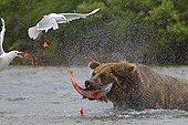 Grizzly capturant un Saumon rouge dans le PN de Katmai ; Les goélands à ailes grises profitent de la capture