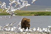 Grizzly and Glaucous-winged Gulls in Katmai NP Alaska ;