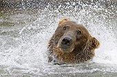 Grizzly fishing for salmon in the River Katmai NPAlaska ;