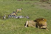 Male lion making his toilet and Jackals on zebra corpse
