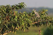Yellow crowned night heron perched on a tree Venezuela