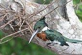 Amazon kingfisher male on the lookout Venezuela