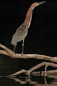 Rufescent Tiger heron on the lookout on a branch Venezuela