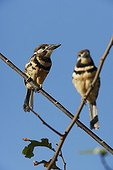 Couple of Russet-throated Puffbirds on a branch Venezuela
