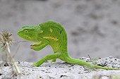 Flap-necked Chameleon Okavango Delta in Botswana