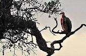 Vautour africain au crépuscule après un repas Botswana
