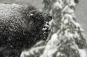 Bison d'Amérique sous la neige Juraparc Suisse