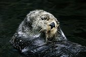 Sea Otter making its toilet Monterey Bay United States