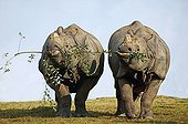 Indian Rhinoceros couple eating the same branch
