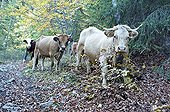 Cows down the mountain pastures in autumn Vercors France