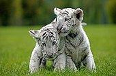 Jeunes Tigres blancs jouant dans l'herbe Asie