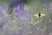 Butterfly-lion on a stem Plaines des Maures France
