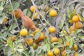 Grey-crested Cacholoteon a branch Orange Pantanal Brazil