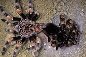 Mexican redknee tarantula moulting