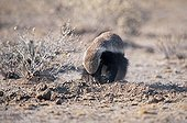 Honey Badger feeding on dung ball of Scarab Beetle Namibia