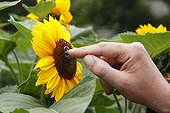 Bumblebee on a Sunflower caressed by a humanFrance