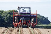 Semi-automatic planting of broccoli in the field France
