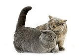 Female British Shorthair Blue Cream Shorthair Blue ; Attitude of dominance and submission
