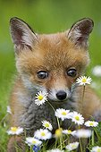 Young Red Fox in flowers in spring Normandy