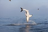 Great White Shark jumping False Bay South africa