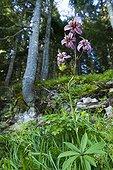 Purple turk's cap lily Black Lake Durmitor NP Montenegro