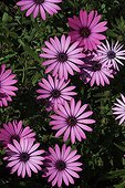 Daisybush flowers