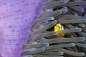Juvenile Clarks Anemonefish hiding in Anemone Indonesia