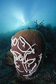White Sea Cucumbers on Barrel Sponge Cenderawasih Bay