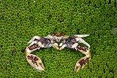 Porcelain Crab in Sea Anemone Cenderawasih Bay Indonesia