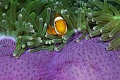 Clown Anemonefish in Magnificent Sea Anemone Indonesia