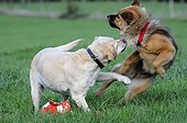 Eurasier and Labrador playing in a meadow France