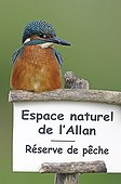 European Kingfisher on a panel reserve Allan France